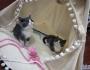 响水小元猫舍,自己家养的猫咪出售
